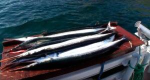 Hornfisk og torsk